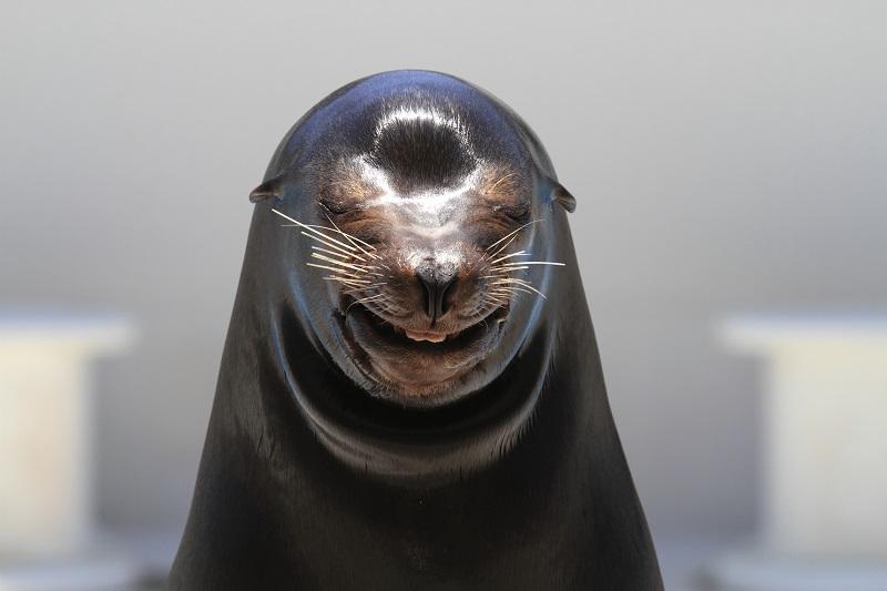 鴨川シーワールドの人気者、笑うアシカ