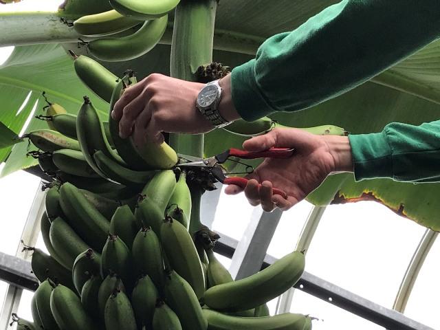植物園バナナ