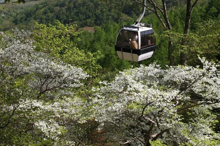 春~初夏は国内最大級約3万本のゴヨウツツジが見頃に。