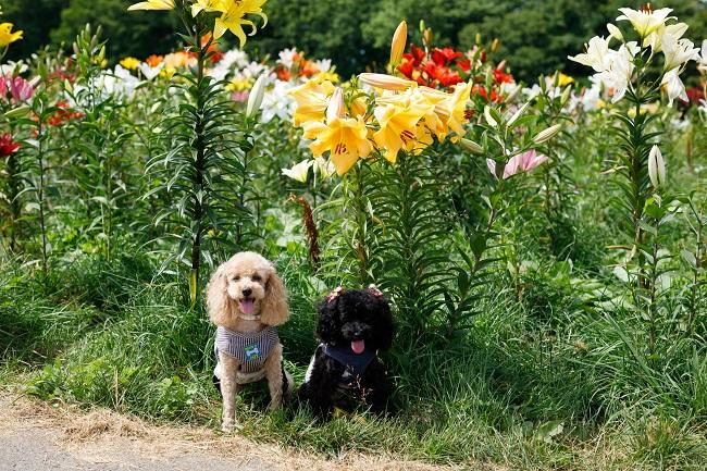 【ゆりパーク】ドッグランが新設♪愛犬と一緒にゆりパークをお楽しみください。