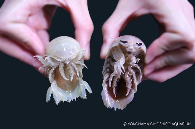 左:しろまる、右:通常のオオグソクムシ