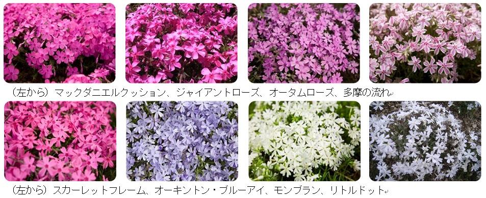 会場で楽しめる芝桜8種