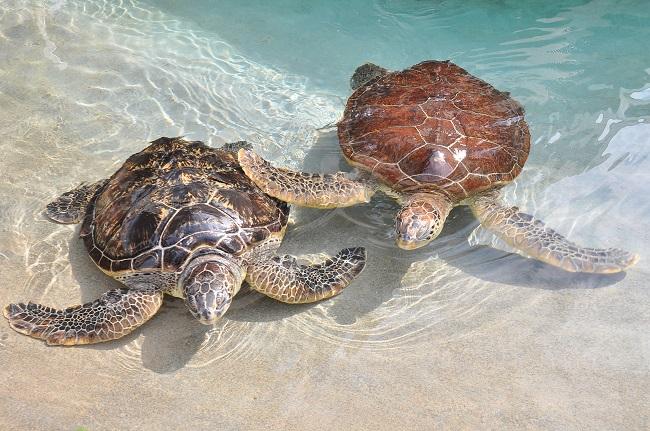 【新江ノ島水族館】ウミガメの浜辺