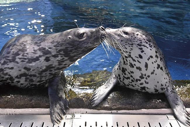 【新江ノ島水族館】ゴマフアザラシ