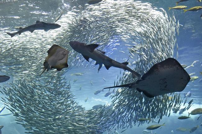 【新江ノ島水族館】地元・相模湾を再現した相模湾大水槽