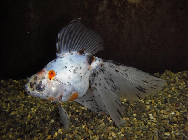 【新江ノ島水族館】6月1日~ テーマ水槽_青い金魚と水草で魅せる「あじさい」(キャリコブロードテールリュウキン)