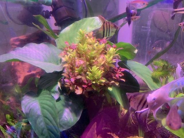 【新江ノ島水族館】6月1日~テーマ水槽_青い金魚と水草で魅せる「あじさい」(水草)イメージ