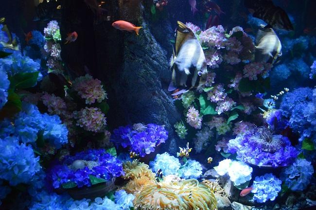 【新江ノ島水族館】6月1日~特別展示 海中のあじさい水槽