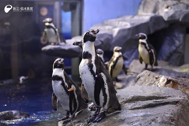 【新江ノ島水族館】フンボルトペンギン
